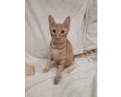 Adopt Sonny a Orange or Red Tabby Domestic Shorthair (short coat) cat in