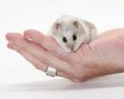 Adopt NONE a White Hamster / Mixed small animal in Burbank, CA (31530759)