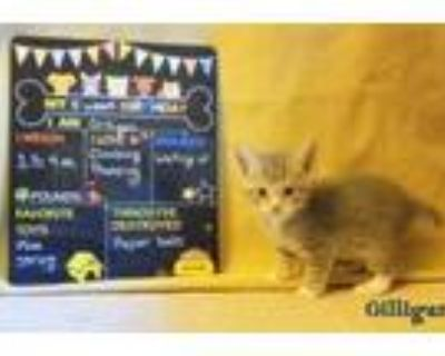 Adopt Gilligan *kitten* a Gray, Blue or Silver Tabby Domestic Shorthair / Mixed