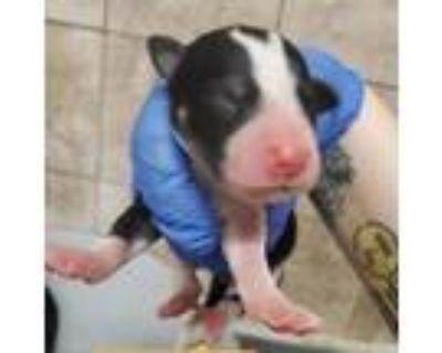 Adopt National Doggographic News a Labrador Retriever, Great Pyrenees