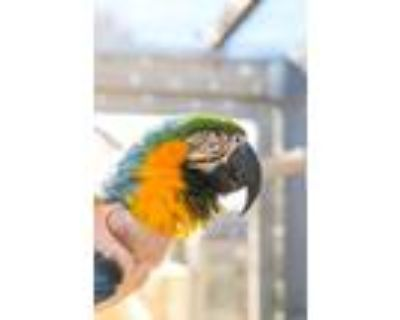 Adopt Roscoe a Macaw