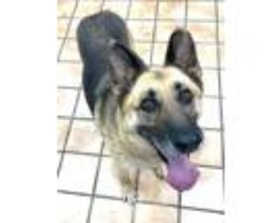 Adopt PARKER a Brown/Chocolate - with Black German Shepherd Dog / Mixed dog in