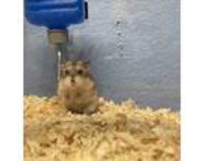 Adopt Archie a Silver or Gray Hamster small animal in Apple Valley