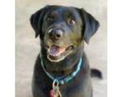 Adopt Sadie a Black Labrador Retriever / Husky / Mixed dog in Southbury