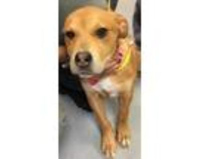 Adopt SMILEY a Red/Golden/Orange/Chestnut American Pit Bull Terrier / Mixed dog