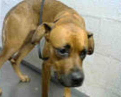 Adopt QUEEN a Brown/Chocolate Labrador Retriever / Mixed dog in Atlanta