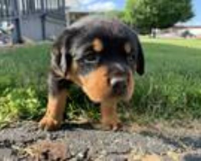 Adopt Honey a Brown/Chocolate - with Black Rottweiler / Mixed dog in