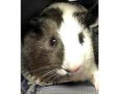 Adopt Cheddar a White Guinea Pig / Mixed small animal in Key West, FL (31116494)