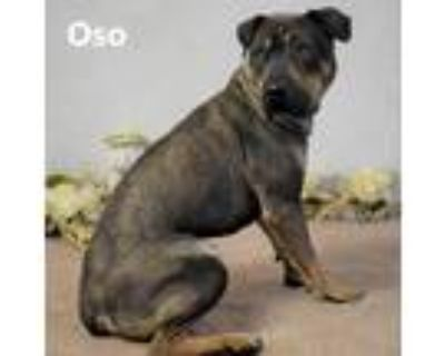 Adopt Oso a Brown/Chocolate Shar Pei / Mixed dog in Yuma, AZ (31700172)