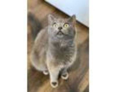 Adopt Sallie a Gray or Blue Russian Blue / Domestic Shorthair / Mixed cat in
