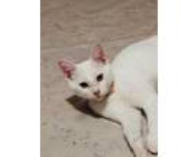 Adopt Hanauma a White Domestic Shorthair / Domestic Shorthair / Mixed cat in