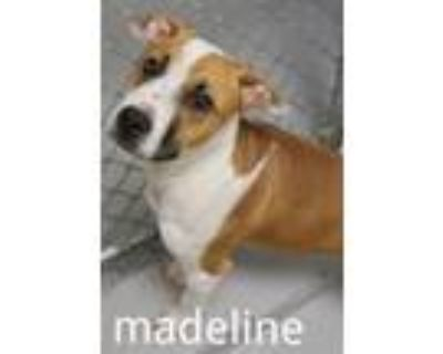 Adopt MADELINE a Pit Bull Terrier, Mixed Breed