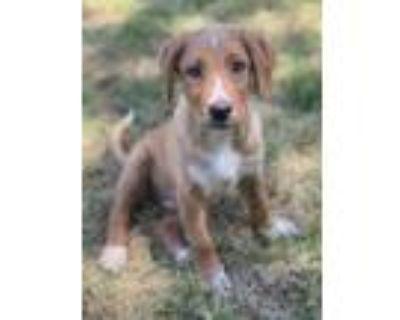 Adopt Rusty a Labrador Retriever, Terrier