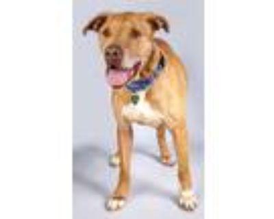 Adopt Walter Cronkite (HW+ Main Campus) a Tan/Yellow/Fawn Labrador Retriever /