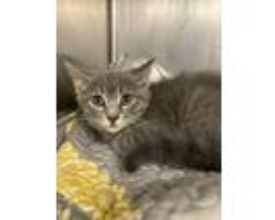 Adopt Lambo a Domestic Mediumhair / Mixed cat in Richmond, VA (31692128)