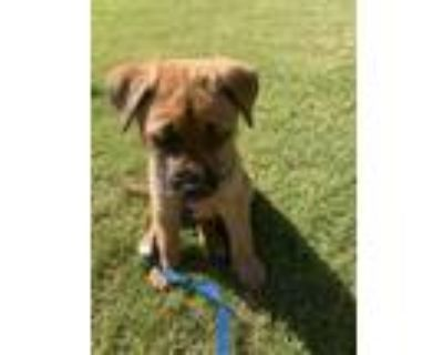 Adopt Lane Henry a Tan/Yellow/Fawn - with Black Pit Bull Terrier / Shepherd
