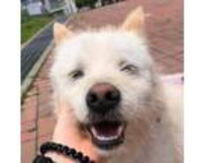 Adopt Usnavi a White - with Tan, Yellow or Fawn Jindo / Terrier (Unknown Type