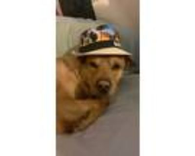 Adopt ector a Tan/Yellow/Fawn - with White Chow Chow / Shar Pei / Mixed dog in