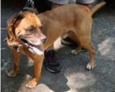 Adopt Tank a Tan/Yellow/Fawn Boxer / Great Dane / Mixed dog in Anderson