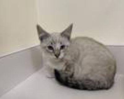 Adopt A172888 a Siamese, Domestic Short Hair