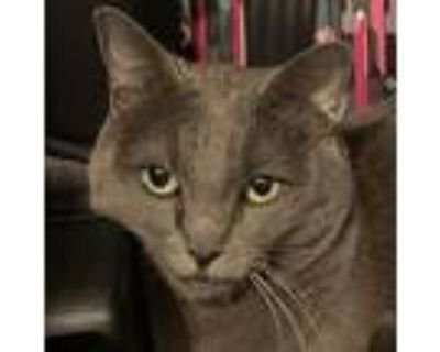 Calla, Russian Blue For Adoption In Flower Mound, Texas