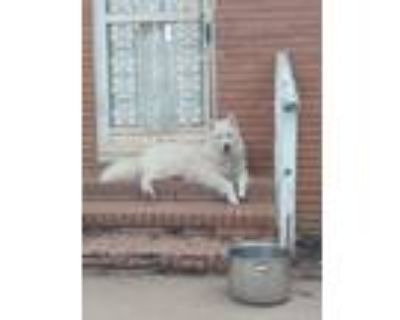 Adopt Bear a White Husky / Great Pyrenees / Mixed dog in Southbury