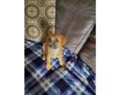 Adopt Nanny a Australian Cattle Dog / Blue Heeler