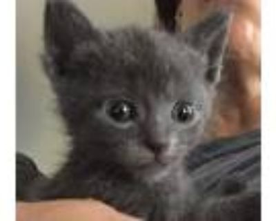 Adopt Sawyer a Gray or Blue Russian Blue (short coat) cat in Westland