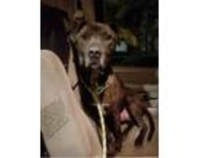 Adopt Caeser a Brown/Chocolate - with White Plott Hound / Boxer / Mixed dog in