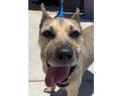 Adopt I1352772 a Tan/Yellow/Fawn - with Black German Shepherd Dog / Mixed dog in