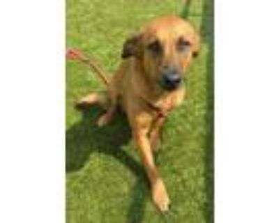 Adopt Gretta a Brown/Chocolate Retriever (Unknown Type) / Mixed dog in