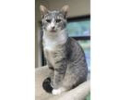 Adopt Carnival a Gray or Blue Domestic Shorthair / Domestic Shorthair / Mixed