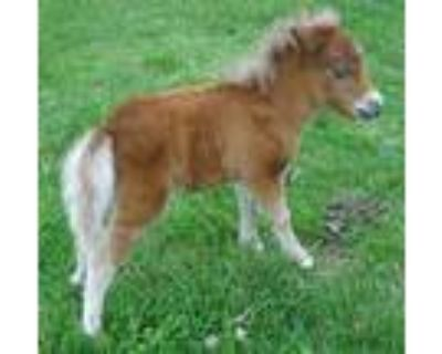 AMHA/AMHR Blue Eyed Tiny Filly Therapy/Show prospect