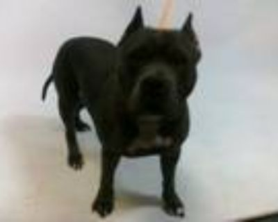 Adopt 21-07390 a Pit Bull Terrier
