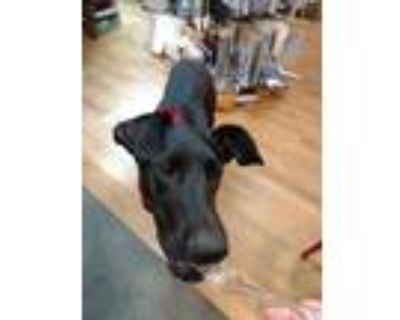Adopt Angel a Black - with White Great Dane / Labrador Retriever / Mixed dog in