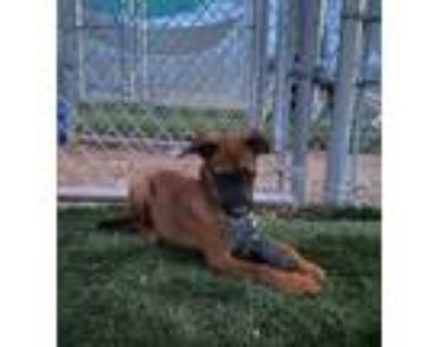 Adopt Goose RP a Brown/Chocolate - with Black Shepherd (Unknown Type) / Mixed
