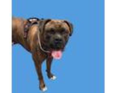 Adopt ZEUS a Brindle Boxer / Mixed dog in Long Beach, CA (31653934)