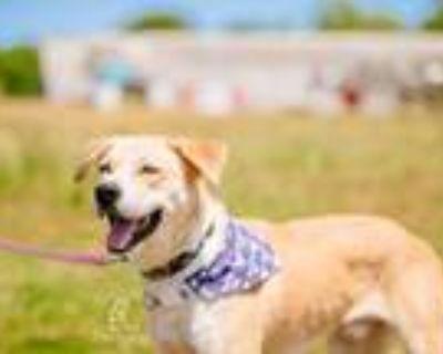 Adopt Samson a Husky, Labrador Retriever