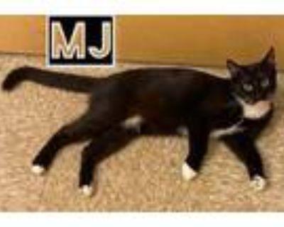 Adopt MJ a Tuxedo, Domestic Short Hair