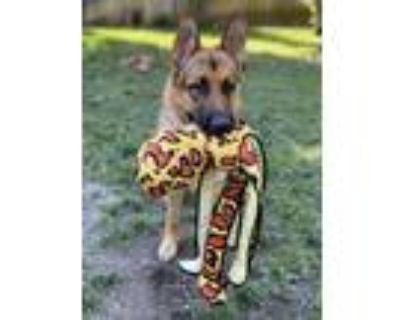 Adopt Takoda a Tan/Yellow/Fawn - with Black German Shepherd Dog / Mixed dog in