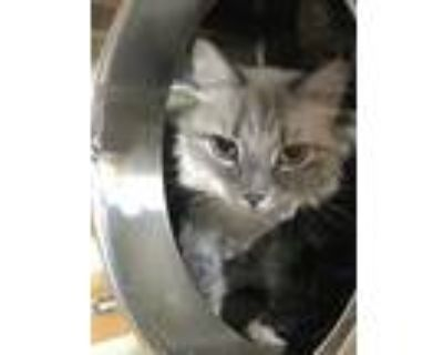 Adopt Fable a Cream or Ivory Siamese / Domestic Shorthair / Mixed cat in Palm