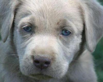 Labrador Retriever: Labrador Silver/Champagne Pups