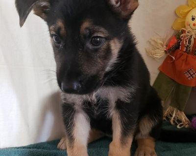 German Shepherd Dog Puppy for Sale - Zena Girl