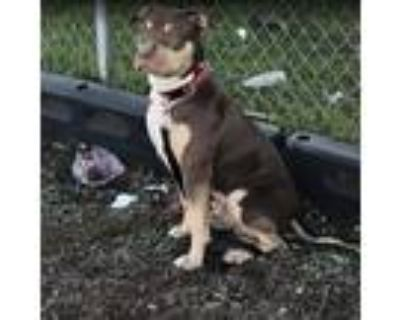 Adopt Beastly a Brown/Chocolate - with Tan American Staffordshire Terrier /