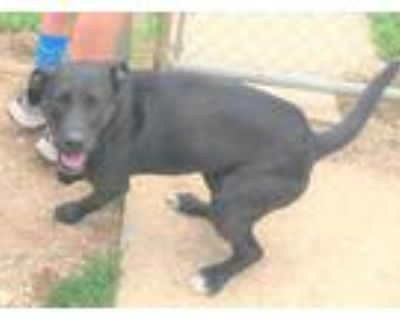 Adopt Bodhi a Black Labrador Retriever / Mixed dog in Walpole, MA (32005145)