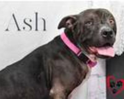 Adopt Ash a Black American Pit Bull Terrier / Mixed dog in Cheyenne