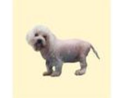 Adopt *PEETA a White Poodle (Toy or Tea Cup) / Mixed dog in Long Beach