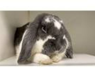 Thumper, American Fuzzy Lop For Adoption In New York, New York
