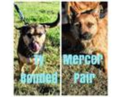 Adopt Mercer *Bonded Pair* a Mixed Breed, Terrier