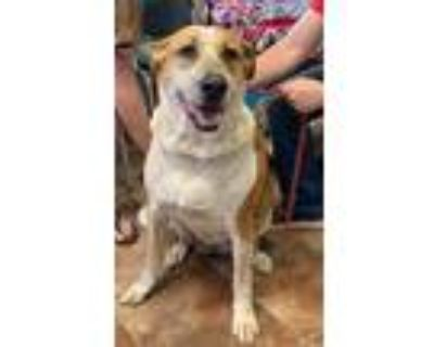 Adopt Tillie a Brown/Chocolate - with White Australian Cattle Dog / Mixed dog in